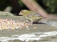 Greenfinch feeding in Keld