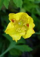 Welsh poppy in Angram, Swaledale