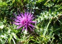 Late summer flower on the Mendips