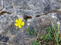 Wild flower on Brean Down