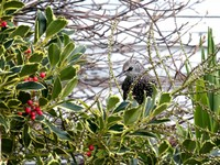 Starling outside a Whitstable house