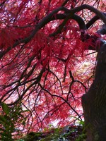 Acer in the Rock Garden, Emmetts Garden