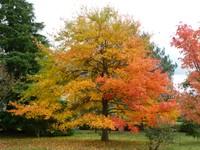 Tree in the South Garden, Emmetts Garden