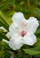 Rhododendron in the South Garden, Emmetts Garden