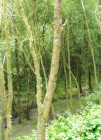 Woodland near New Pool Hollow, Cardingmill Valley