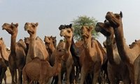 Camel herd on the road to Jaipur