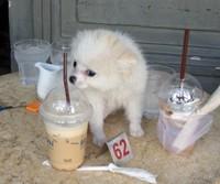 Coffee shop dog, Phnom Penh
