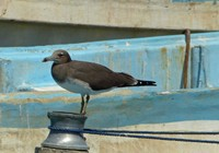 Sooty gull in Mirbat