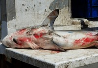 Catch of the day - shark