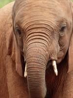 Elephant at the David Sheldrick Elephant Orphanage