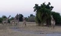 Giraffes and carcass, Chobe National Park