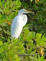 Egret, Mandina