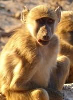 Baboon, Chobe National Park