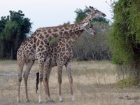 Giraffes, Chobe National Park