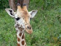Rothschild Giraffe at the Giraffe Centre, Nairobi