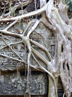 Tree roots, Ta Prohm