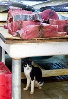 In the fish market, Salalah - big tuna, small cat