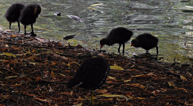 Moorhen family on Pymmes Park lake