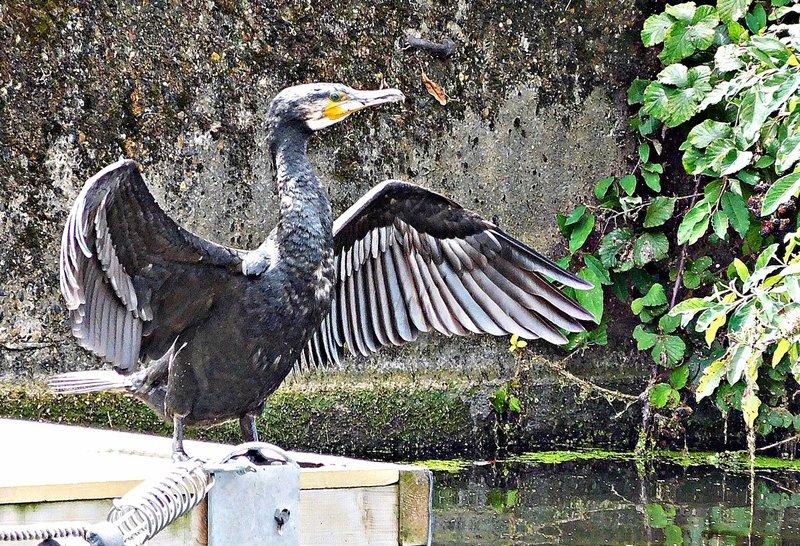 Cormorant near Haggerston