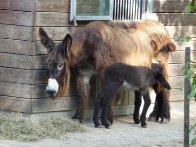4912238-Poitou_donkey_and_foal_Muenster.jpg