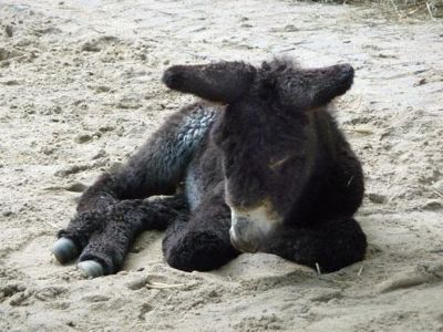 4912239-The_donkey_foal_Muenster.jpg
