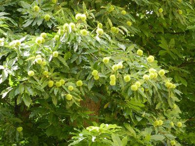 5898656-Chestnut_Forest_Edenkoben.jpg