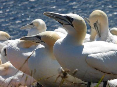 6791508-Northern_gannets_Helgoland.jpg