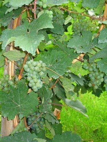 Riesling grapes riping - Ürzig