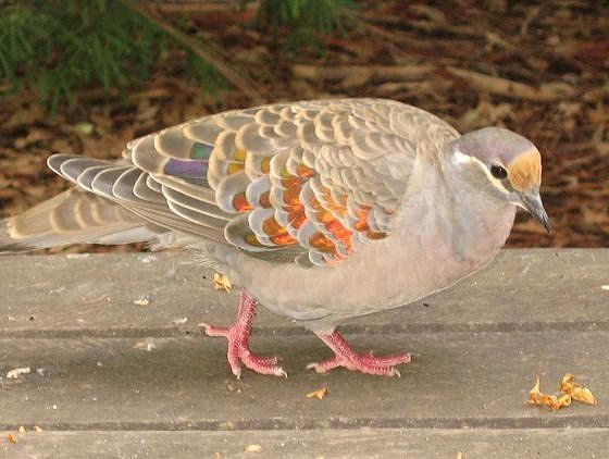 Common Bronzewing - Pemberton