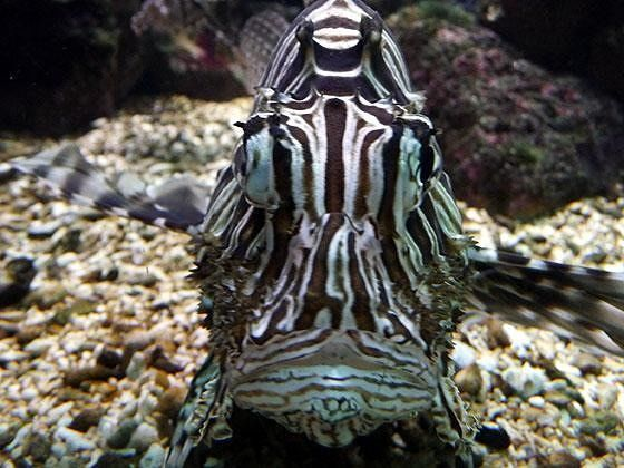 large_4912228-Face_to_face_with_a_lionfish_Muenster.jpg