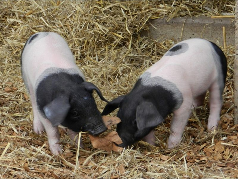 large_6185924-Two_piglets_of_an_old_race_Stuttgart.jpg