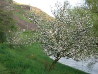 326157744016581-Apple_tree_o..en_Rachtig.jpg