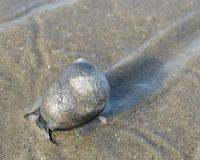 3918098-Beach_snail_Cuxhaven.jpg
