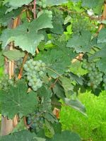 4075254-Riesling_grapes_riping_Uerzig.jpg