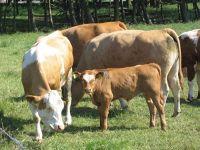4489351-Cows_in_the_Marsh_Cuxhaven.jpg
