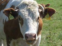 4489353-Cows_in_the_Marsh_Cuxhaven.jpg