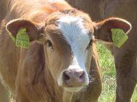 4489357-Cows_in_the_Marsh_Cuxhaven.jpg