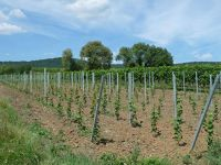 4881048-Young_vines_Wissembourg.jpg