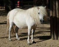 4912237-Shetland_pony_Muenster.jpg