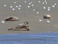 492317036792902-Seals_Restin..k_Cuxhaven.jpg