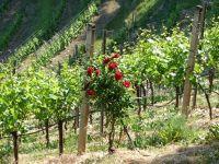 5074655-Roses_in_the_vineyard_Gernsbach.jpg