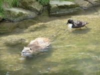 5100353-Nutria_and_duck_Weingarten.jpg