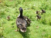 5100355-Very_young_ducklings_Weingarten.jpg