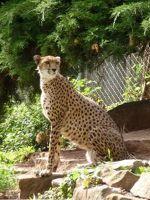 5105112-Cheetah_Landau_in_der_Pfalz.jpg