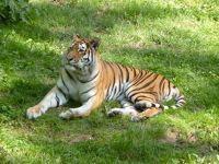 5105113-Siberian_Tiger_Landau_in_der_Pfalz.jpg
