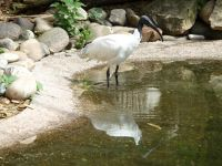 5105122-Holy_Ibis_Landau_in_der_Pfalz.jpg