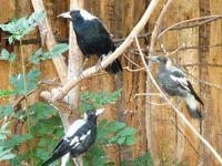 5105124-Magpies_Landau_in_der_Pfalz.jpg