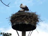 5105125-The_storks_nest_Landau_in_der_Pfalz.jpg