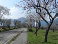 6147534-Almond_Blossom_Edenkoben.jpg