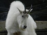 6185861-Snow_goat_Stuttgart.jpg
